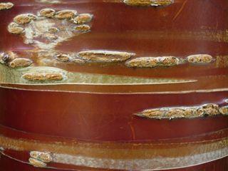 Prunus serrula rosemore 07